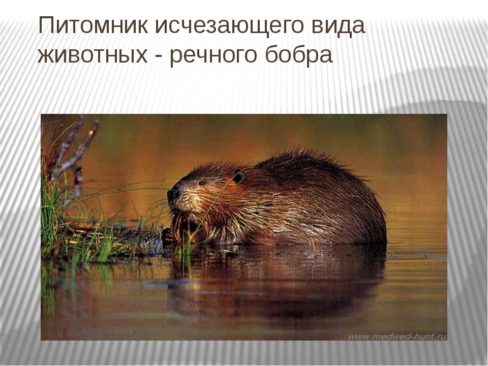 Питомник исчезающего вида животных - речного бобра