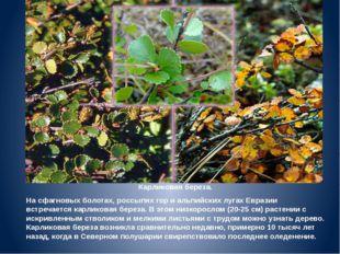 Карликовая береза. На сфагновых болотах, россыпях гор и альпийских лугах Евра