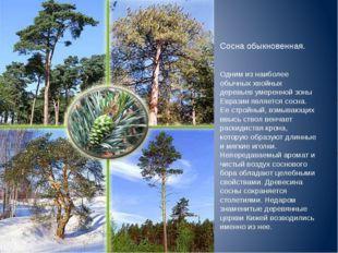 Сосна обыкновенная. Одним из наиболее обычных хвойных деревьев умеренной зоны