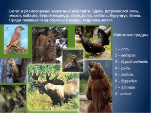 Животные тундры. 1 – лось 2 – кабарга 3 – бурый медведь 4 - рысь 5 – соболь 6