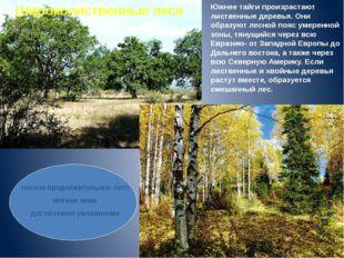 Южнее тайги произрастают лиственные деревья. Они образуют лесной пояс умеренн