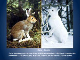 Заяц - беляк. Свое название получил за белоснежный зимний мех. Летом он одева