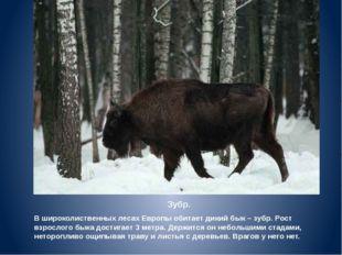 Зубр. В широколиственных лесах Европы обитает дикий бык – зубр. Рост взрослог