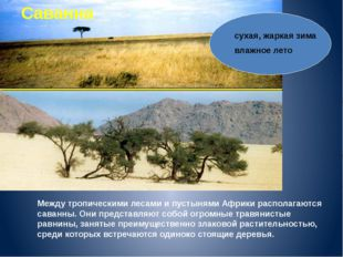Саванна Между тропическими лесами и пустынями Африки располагаются саванны. О
