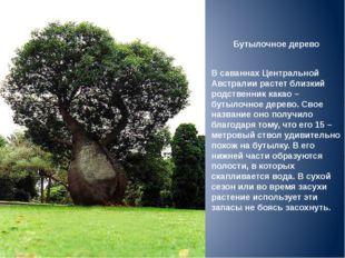 Бутылочное дерево В саваннах Центральной Австралии растет близкий родственник