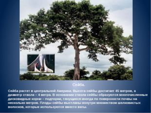 Сейба. Сейба растет в центральной Америки. Высота сейбы достигает 45 метров,