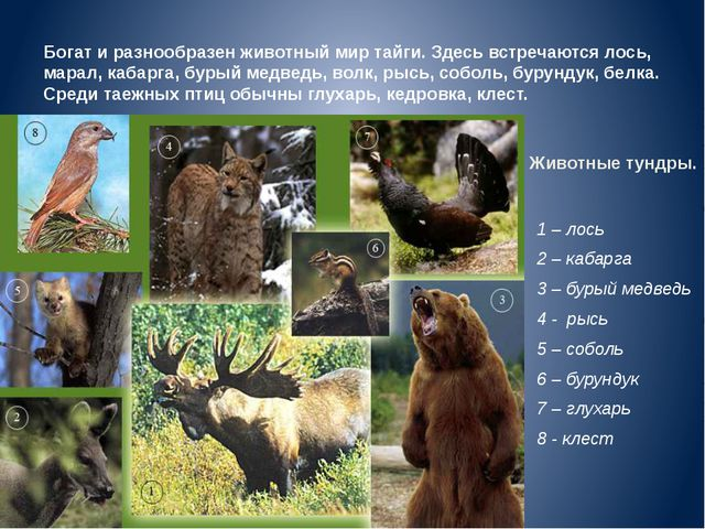 Животные тундры. 1 – лось 2 – кабарга 3 – бурый медведь 4 - рысь 5 – соболь 6...