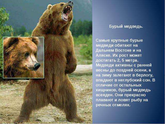Бурый медведь. Самые крупные бурые медведи обитают на Дальнем Востоке и на Ал...