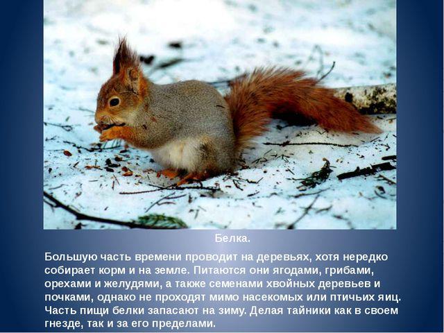 Белка. Большую часть времени проводит на деревьях, хотя нередко собирает корм...