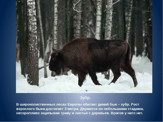Зубр. В широколиственных лесах Европы обитает дикий бык – зубр. Рост взрослог...