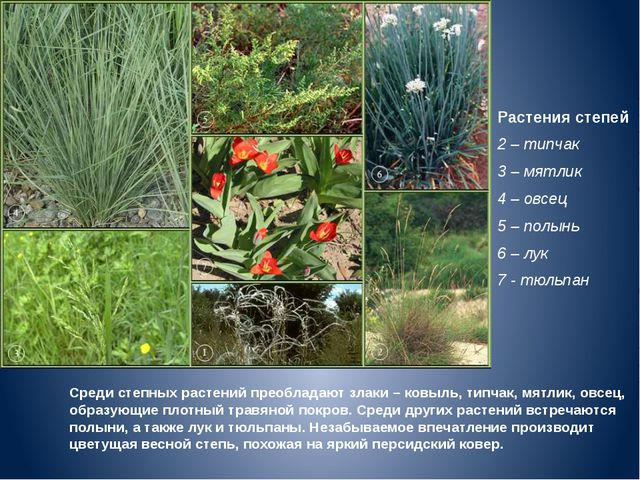 Растения степей 2 – типчак 3 – мятлик 4 – овсец 5 – полынь 6 – лук 7 - тюльпа...