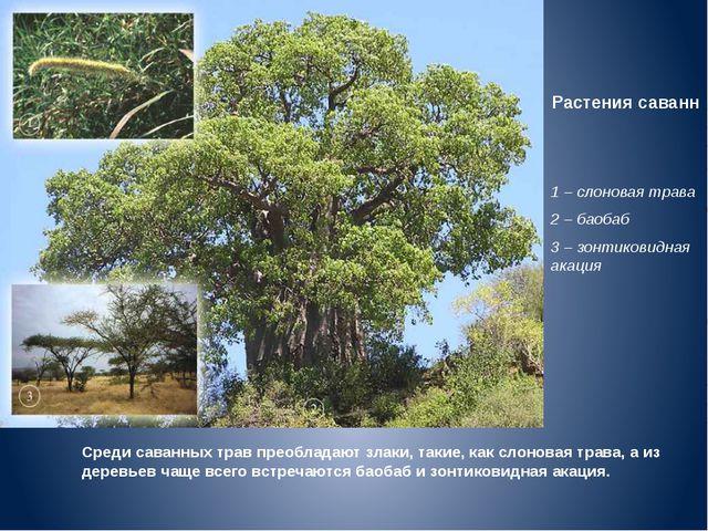 Растения саванн 1 – слоновая трава 2 – баобаб 3 – зонтиковидная акация Среди...