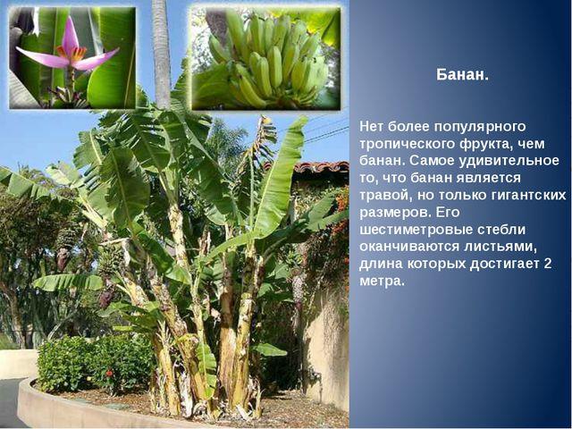 Банан. Нет более популярного тропического фрукта, чем банан. Самое удивительн...