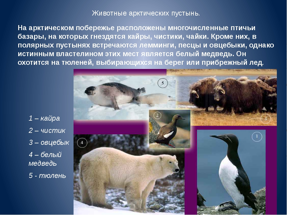 Животные арктических пустынь. На арктическом побережье расположены многочисле...