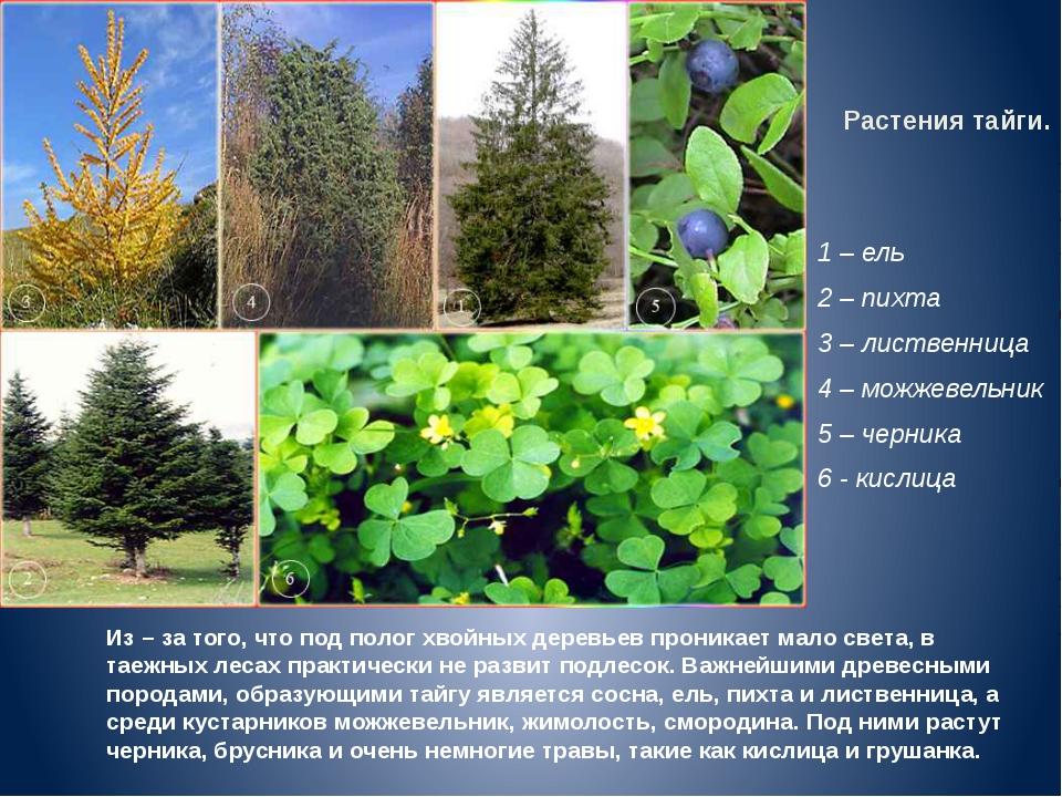 Растения тайги. 1 – ель 2 – пихта 3 – лиственница 4 – можжевельник 5 – черник...