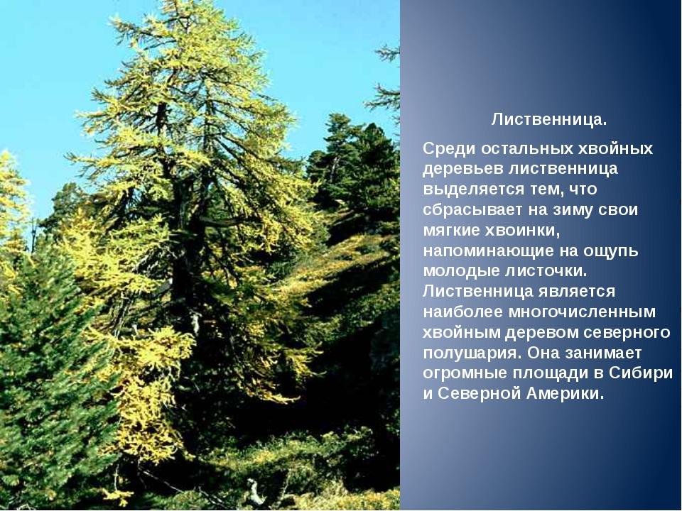 Лиственница. Среди остальных хвойных деревьев лиственница выделяется тем, что...