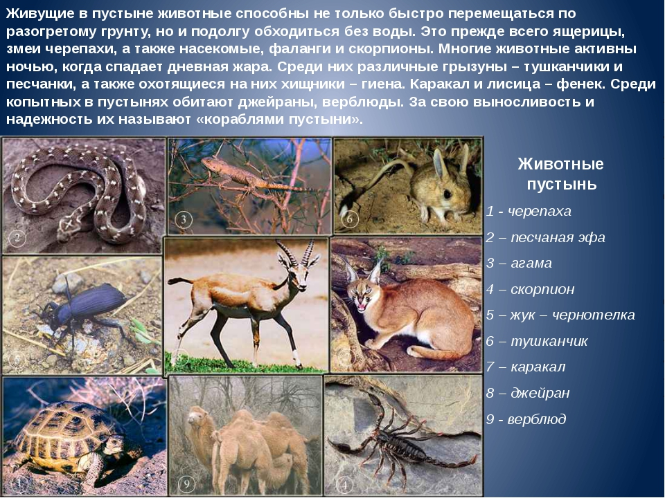 Животные пустынь 1 - черепаха 2 – песчаная эфа 3 – агама 4 – скорпион 5 – жук...