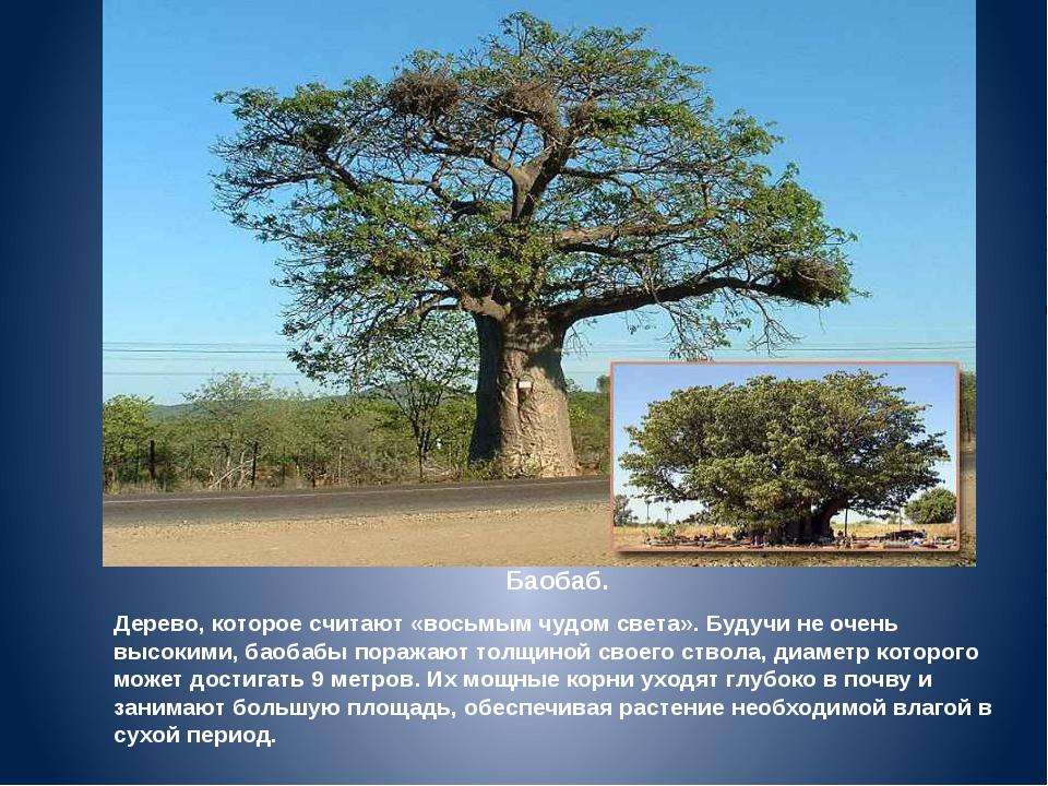 Баобаб. Дерево, которое считают «восьмым чудом света». Будучи не очень высоки...