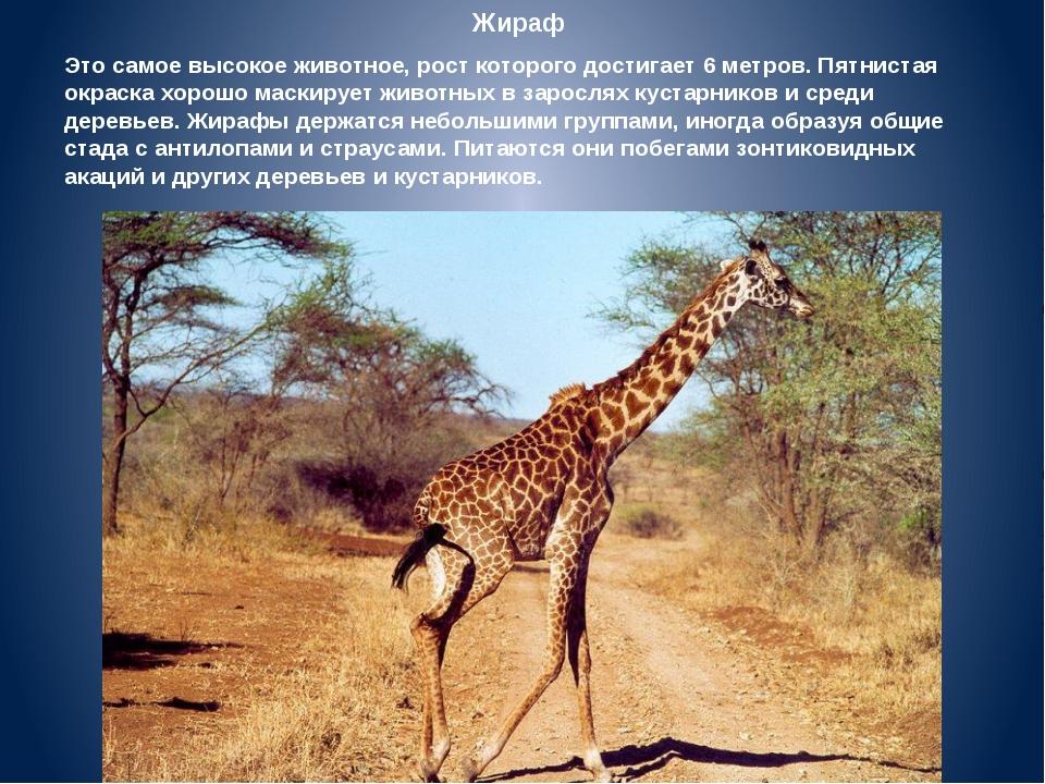 Жираф Это самое высокое животное, рост которого достигает 6 метров. Пятнистая...