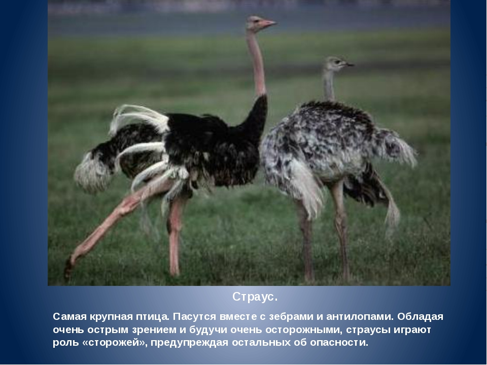Страус. Самая крупная птица. Пасутся вместе с зебрами и антилопами. Обладая о...