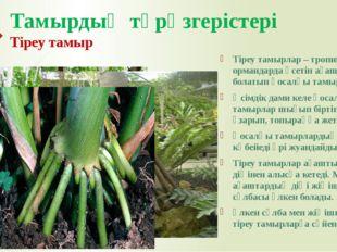 Тамырдың түрөзгерістері Тіреу тамыр Тіреу тамырлар – тропиктік ормандарда өсе