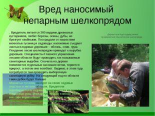 Вред наносимый непарным шелкопрядом . Вредитель питается 300 видами древесных