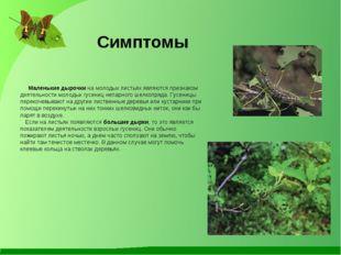 Симптомы Маленькие дырочки на молодых листьях являются признаком деятельности