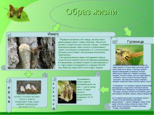 Образ жизни Имаго Вначале маленькие гусеницы не питаются, живут вместе и толь