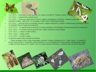 1.07.2011г. – гусеницы активно двигаются, хорошо питаются. Поменял корм, почи
