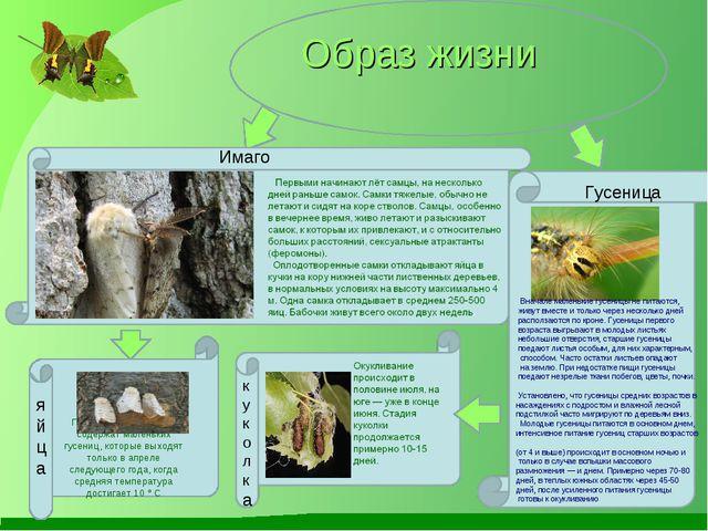 Образ жизни Имаго Вначале маленькие гусеницы не питаются, живут вместе и толь...