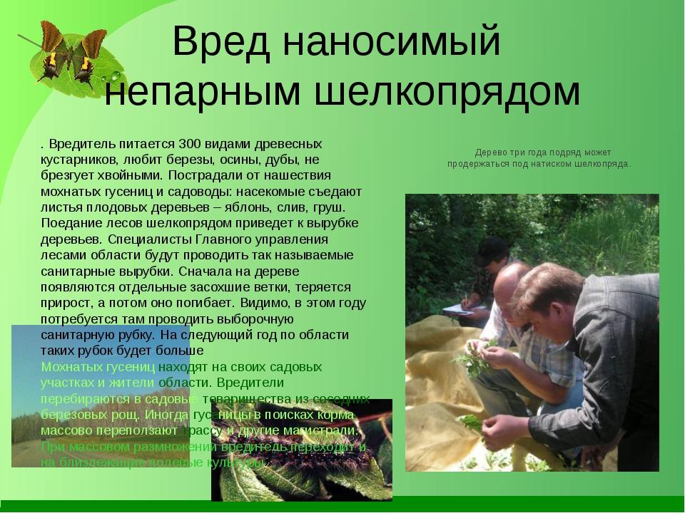 Вред наносимый непарным шелкопрядом . Вредитель питается 300 видами древесных...