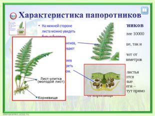 Характеристика папоротников Насчитывают более 10000 видов; Растут как на суше