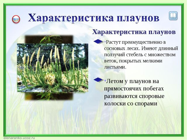 Характеристика плаунов Летом у плаунов на прямостоячих побегах развиваются сп...