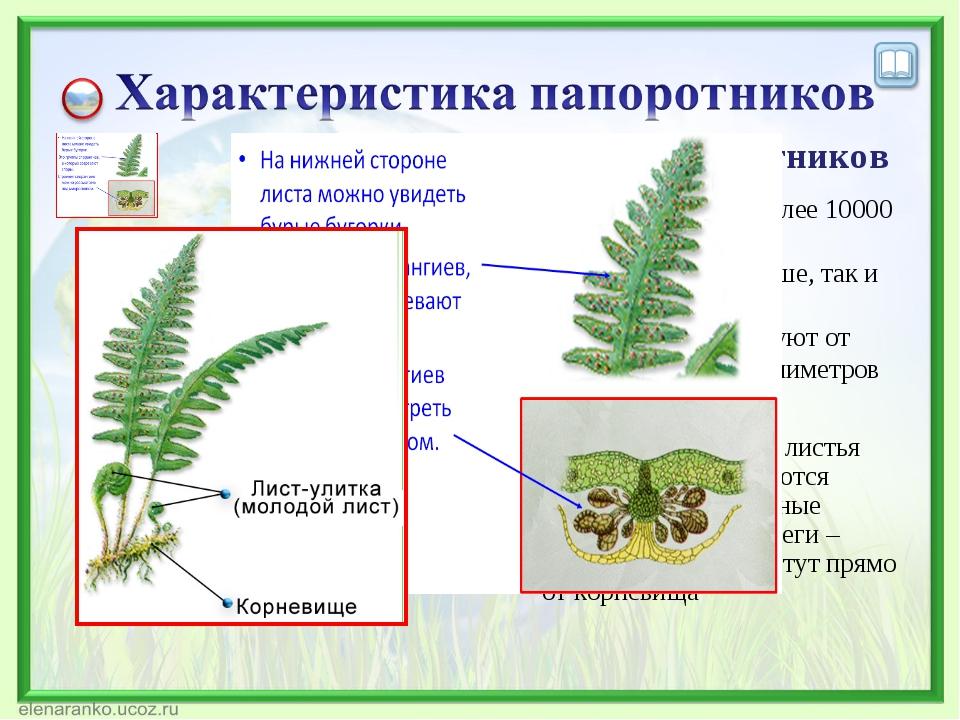 Характеристика папоротников Насчитывают более 10000 видов; Растут как на суше...