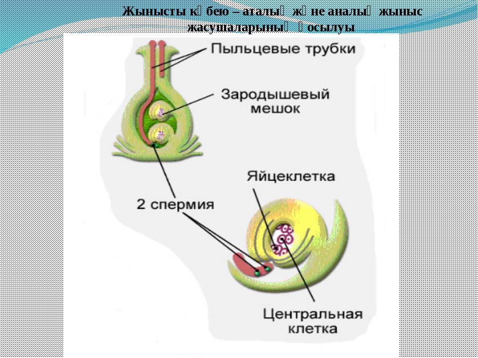 Жынысты көбею – аталық және аналық жыныс жасушаларының қосылуы