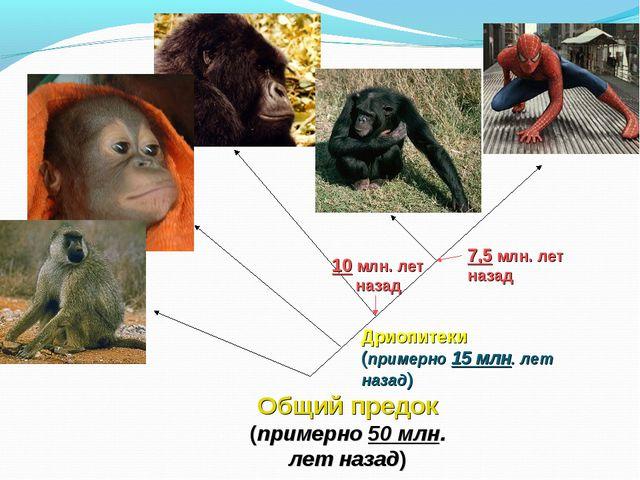 Общий предок (примерно 50 млн. лет назад) Дриопитеки (примерно 15 млн. лет на...