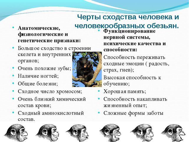 Черты сходства человека и человекообразных обезьян. Анатомические, физиологич...