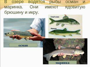 В озере водятся рыбы осман и маринка. Они имеют ядовитую брюшину и икру. осма