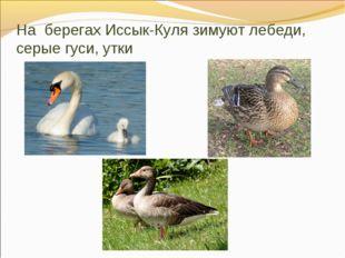 На берегах Иссык-Куля зимуют лебеди, серые гуси, утки