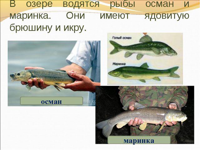 В озере водятся рыбы осман и маринка. Они имеют ядовитую брюшину и икру. осма...