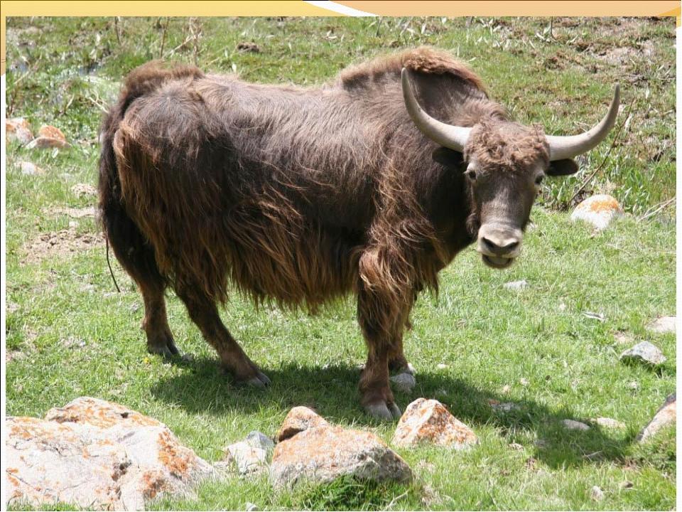 Сельское хозяйство – главная отрасль животноводство В Киргизии разводят овец,...
