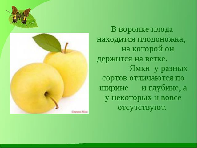 В воронке плода находится плодоножка, на которой он держится на ветке. Ямки...