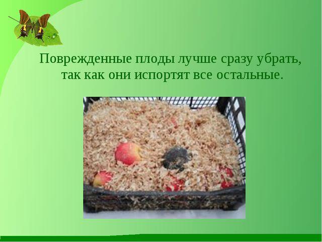 Поврежденные плоды лучше сразу убрать, так как они испортят все остальные.