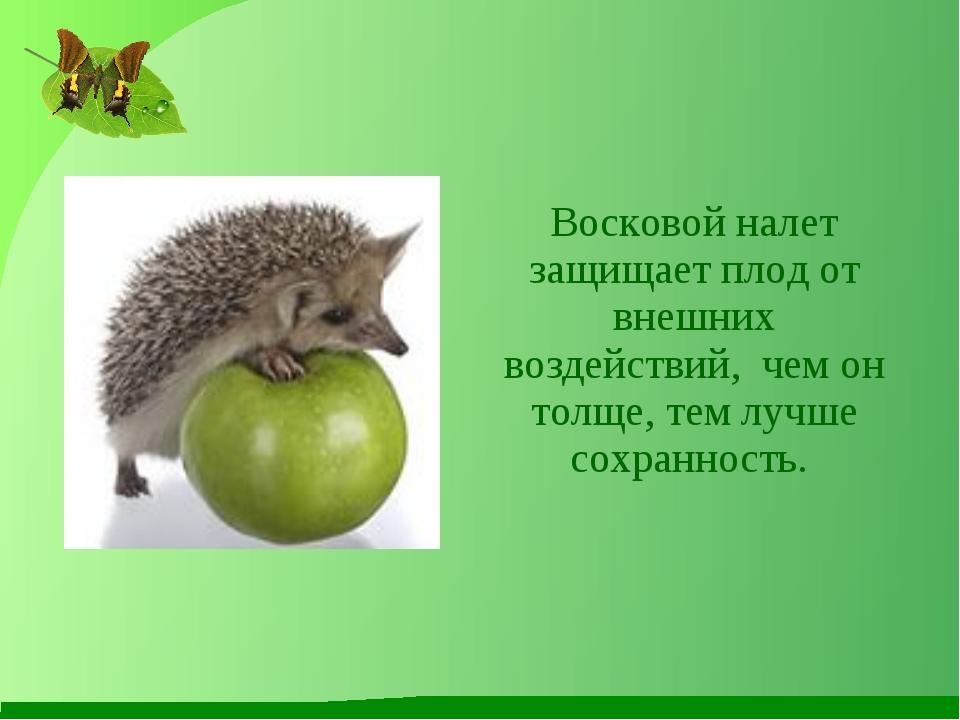 Восковой налет защищает плод от внешних воздействий, чем он толще, тем лучше...