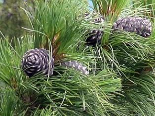как-называются-хвойные-деревья.jpg