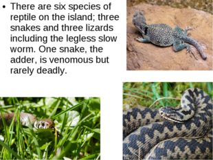 There are six species of reptile on the island; three snakes and three lizard
