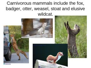Carnivorous mammals include the fox, badger, otter, weasel, stoat and elusive