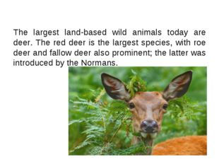 The largest land-based wild animals today are deer. The red deer is the large