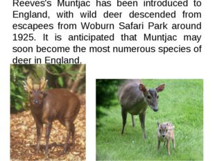 Reeves's Muntjac has been introduced to England, with wild deer descended fro