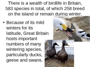 There is a wealth of birdlife in Britain, 583 species in total, of which 258